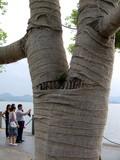Arbre couvert de bandages, lac Langzhou, Chine poster