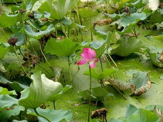Fleur de Lotus, Chine