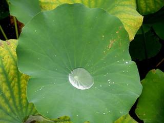 Poche d'eau dans une feuille de lotus