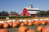 Fototapety Giant pumpkins and the red barn
