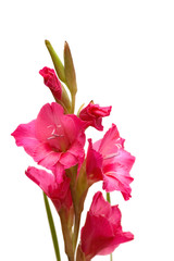 Red gladiolus isolated on the white background