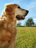 My darling dog - golden retriever poster