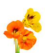 Three nasturtium flower on white background