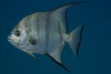 Atlantic Spadefish, Chaetodipterus faber poster