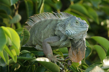 Green Iguana lurking up in the tree branches