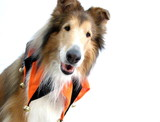 Collie Dog in Jester Collar poster