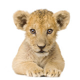 Lion Cub (3 months) - Fine Art prints