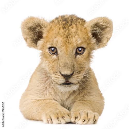 Poster Lion Cub (3 months)