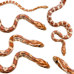 collection of six Corn Snake