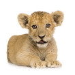Quadro Lion Cub (3 months)