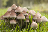 Mycena pura woodland fungus poster