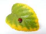 red ladybug sitting on the autumn leaf poster