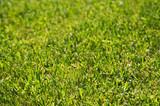 Lush Green Backlit Grass Background Image. poster