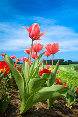 beautiful dutch tulips