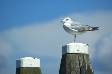 Relaxing Seagull