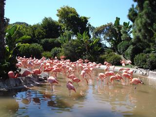 rosa Flamingos in der Natur / Amerika / Kalifornien