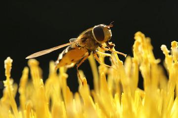 Fliegenschmaus