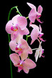 Stem of pink orchids isolated on black background