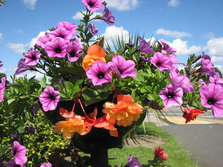 Hanging Basket with Begonias and Surfinias