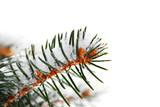 Snowy spruce branch poster