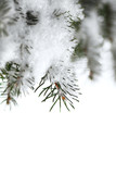 Snowy spruce branches poster