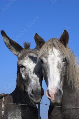 Poster Ezel l'âne et le cheval