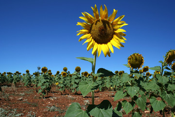 yellow sunflower field in alentejo, portugal