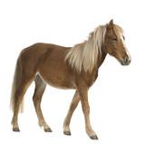 Shetland pony (2 years) poster