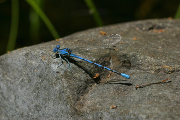 Vivid Dancer Damselfly, Argia vivida rests momentarily on a rock