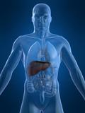 menschliche anatomie mit leber poster