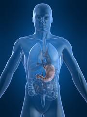 menschliche anatomie mit magen