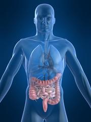 menschliche anatomie mit darm