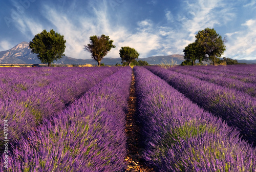 Wall mural Lavender field in Provence, France