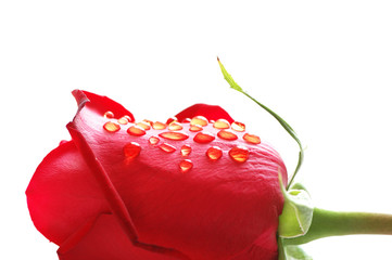 Rosebud with water drops isolated on white
