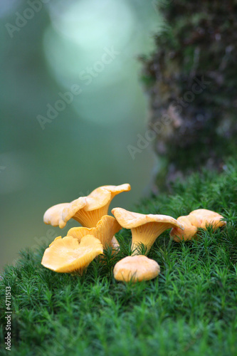 Chanterelles on the moss - 4711513
