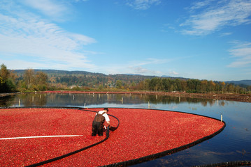 farmer working in cranberry bog