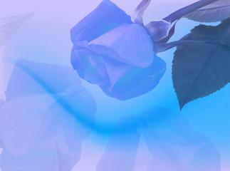Sfondo con rosa blu