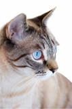 Cat staring with blue eyes isolated on white poster