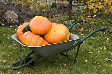 heap of orange pumpkins in a barrow
