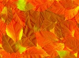 Fall leaves. Vibrant natural texture poster
