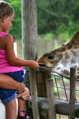 giraffe eating from childs hand