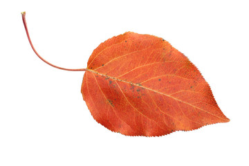 red autumn leaf isolated on white