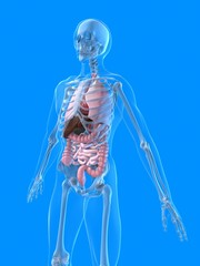 organ anatomie