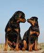 rottweiler père et fils