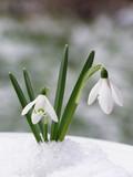 snowdrop - 4757707