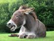 Quadro Laughing donkey