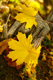 yellow leaves on a dry stump poster