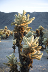 Cholla plant