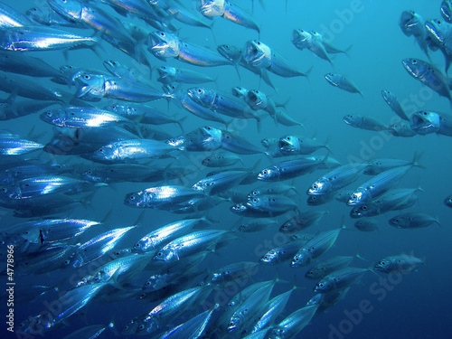 Fotobehang Egypte Striped Mackerel