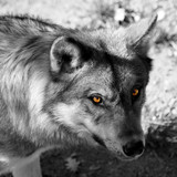 Fototapeta spojrzenie - oczy - Dziki Ssak